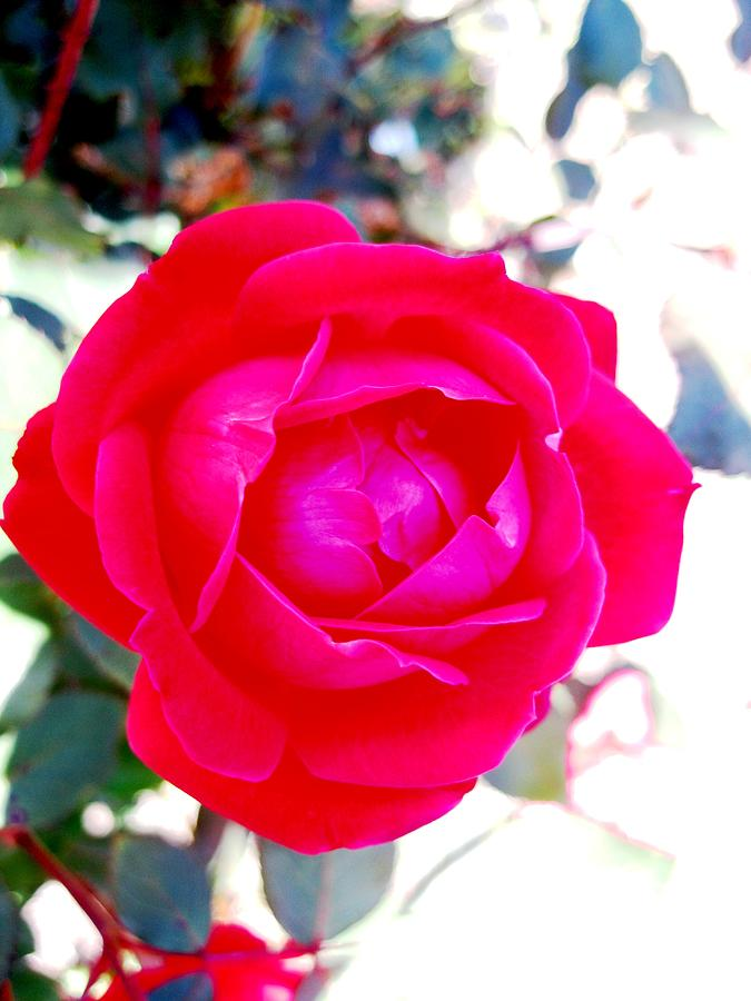 Rose Photograph - Rose 2 by Will Boutin Photos