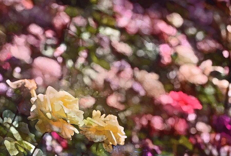 Floral Photograph - Rose 209 by Pamela Cooper