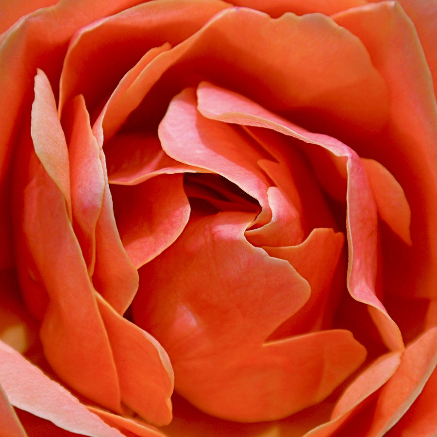 Rose Photograph - Rose Abstract by Rona Black