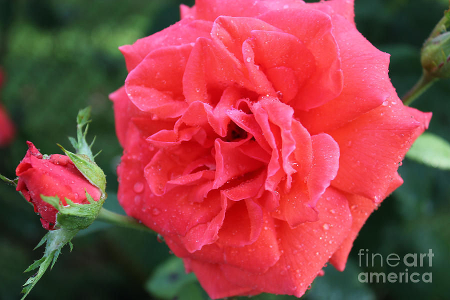 Rose Photograph - Rose And Rose Bud by Judy Palkimas