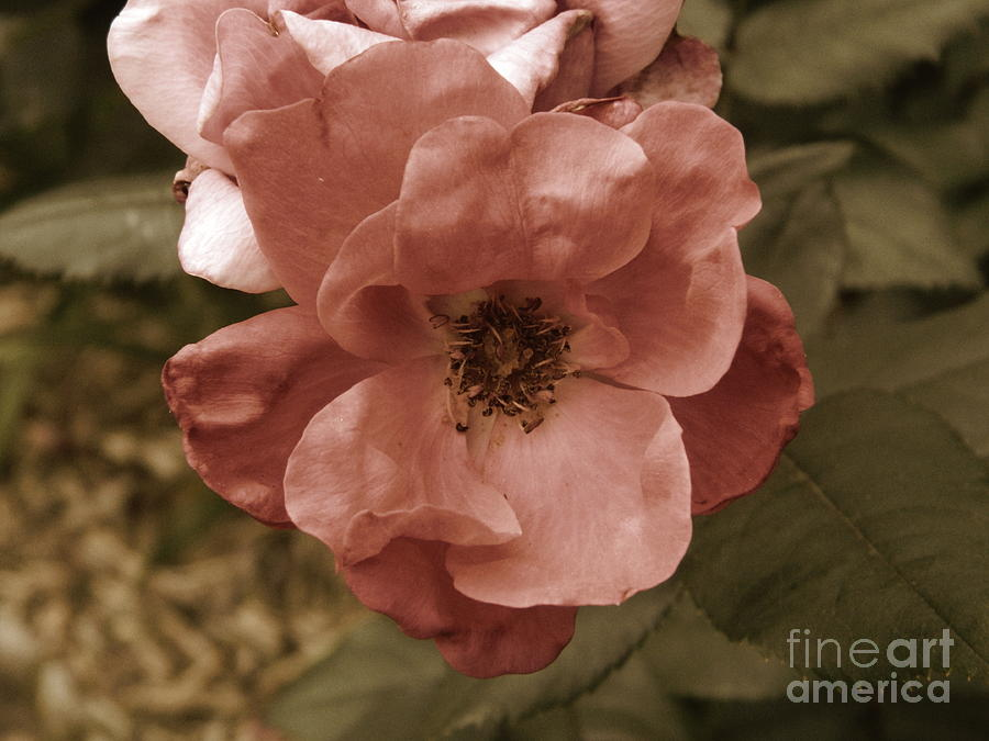 Rose Photograph - Rose by Andrea Anderegg