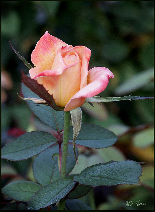 Rose Photograph - Pink Rose Bloom  by James C Thomas