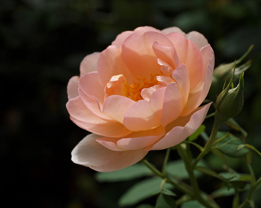 Rose Photograph - Rose Blush by Rona Black