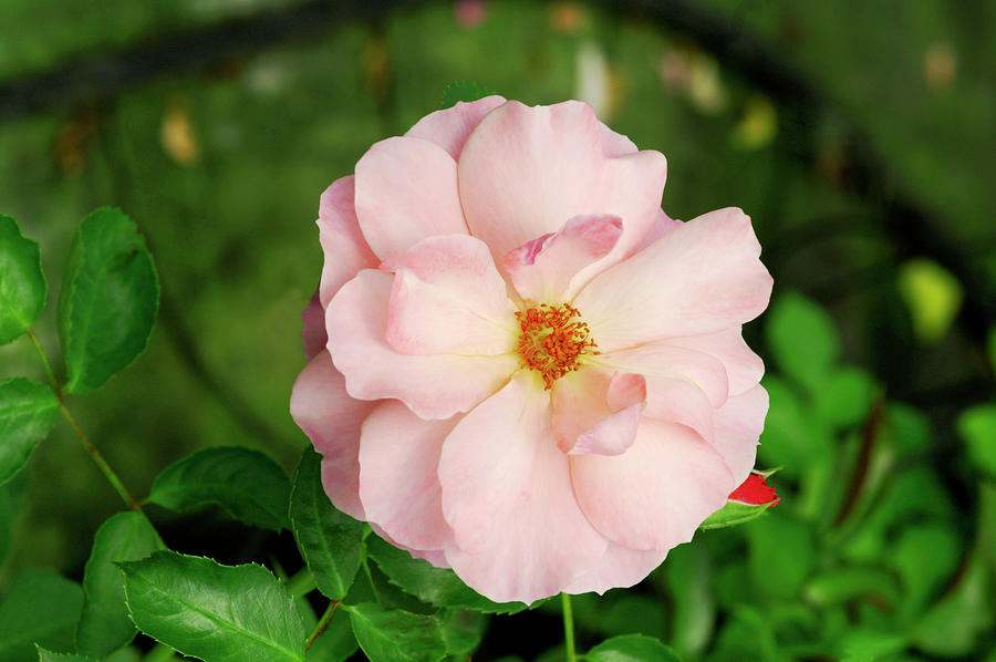 Rosa Photograph - Rose botticelli by Brian Gadsby/science Photo Library