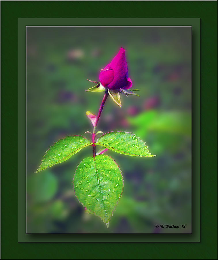 2d Photograph - Rose Bud by Brian Wallace