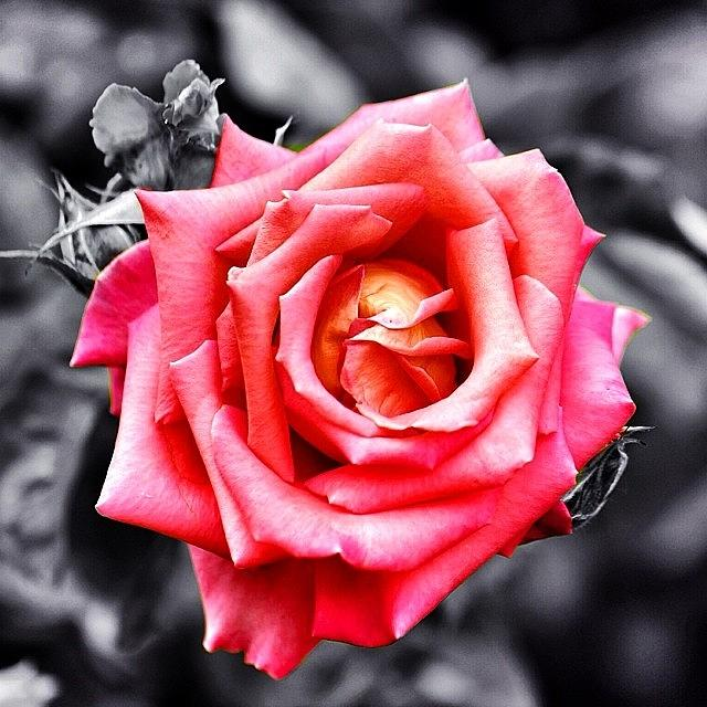 Nature Photograph - #rose #colorsplash #fiore #rosa by Luisa Azzolini
