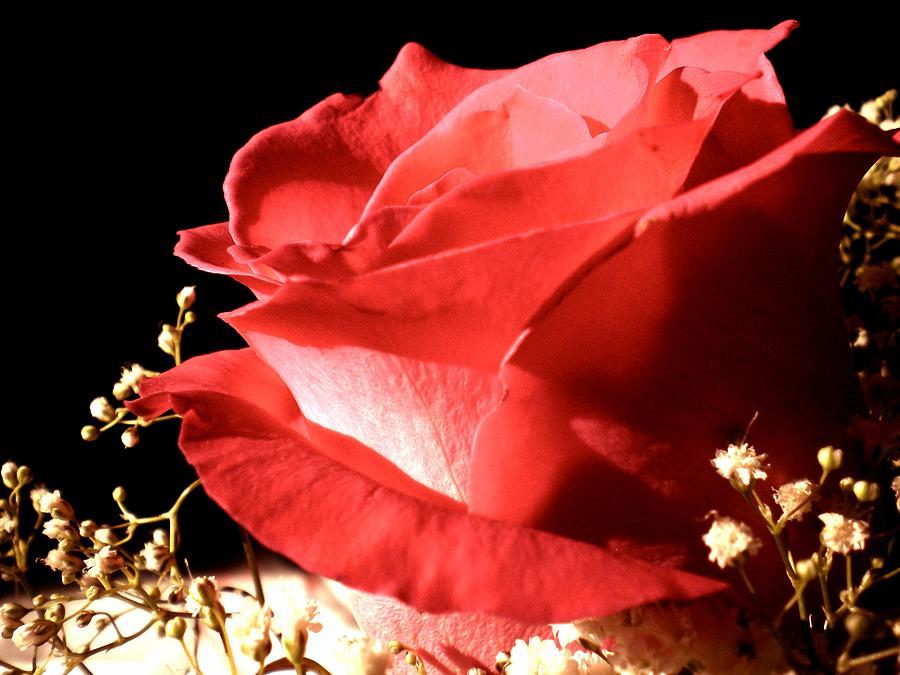 Flower Photograph - Rose by Elizabeth Fredette