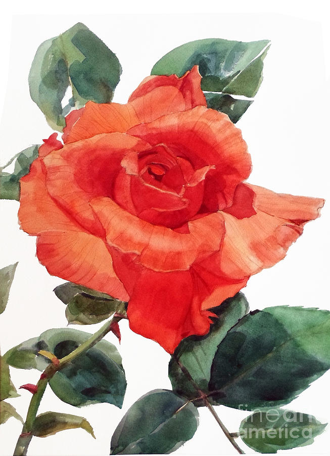 Watercolor Of A Single Red Rose I Call Red Rose Filip Painting By