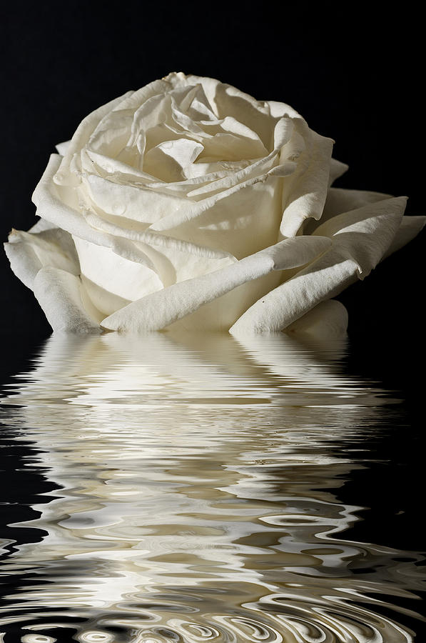 Isolated Photograph - Rose Flood by Steve Purnell