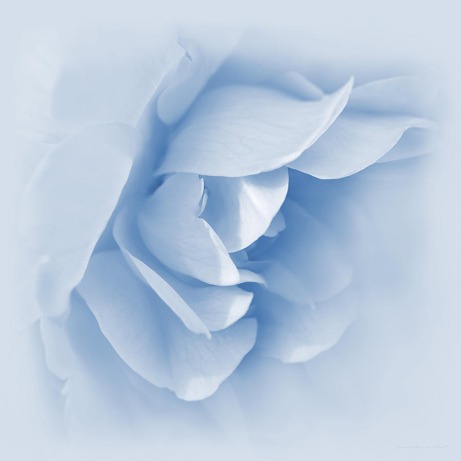 Rose flower petals soft blue photograph by jennie marie schell rose photograph rose flower petals soft blue by jennie marie schell izmirmasajfo