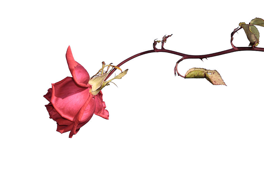 Flower Photograph - Rose for Isabel by Goyo Ambrosio