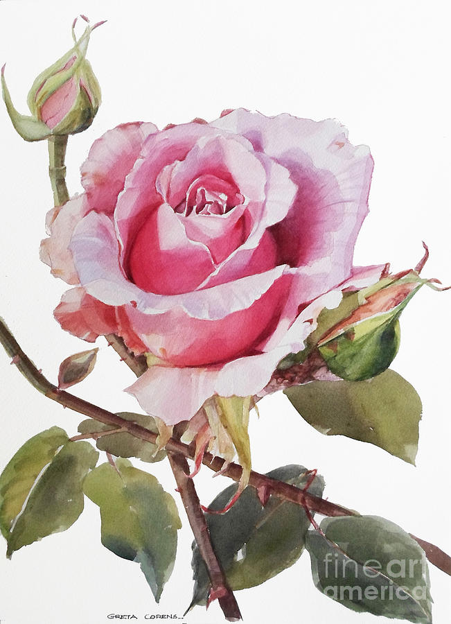 Watercolor Of Pink Rose Grace Painting