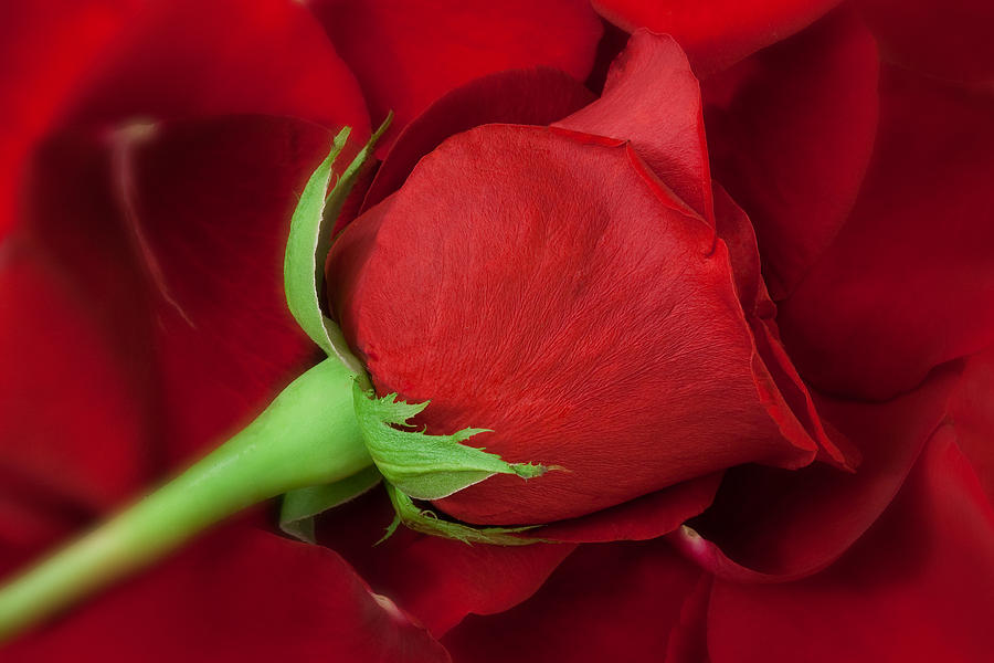 Anniversary Photograph - Rose II by Andreas Freund