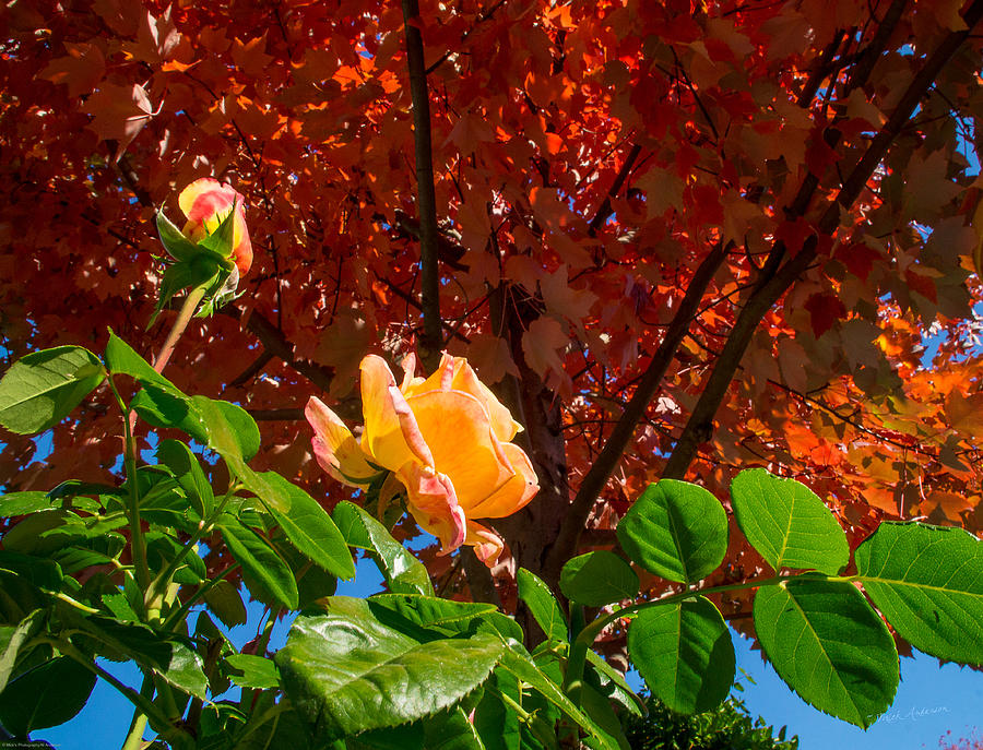 Rose Photograph - Rose In Autumn by Mick Anderson
