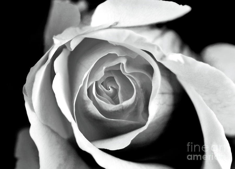 Gallery Wrap Photograph - Rose In Black And White by John Rizzuto