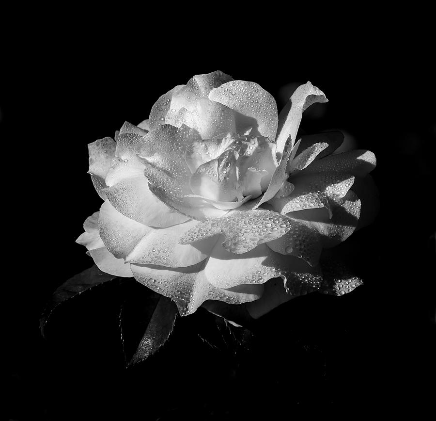 Rose in Black and White by Kenneth Blye