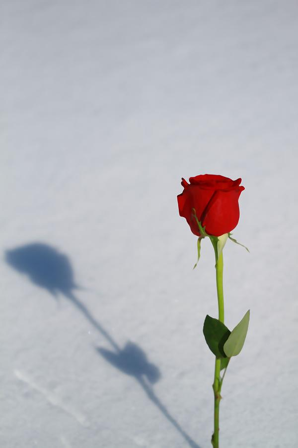 Rose Photograph - Rose In Snow Spring Approaches by Dan Sproul