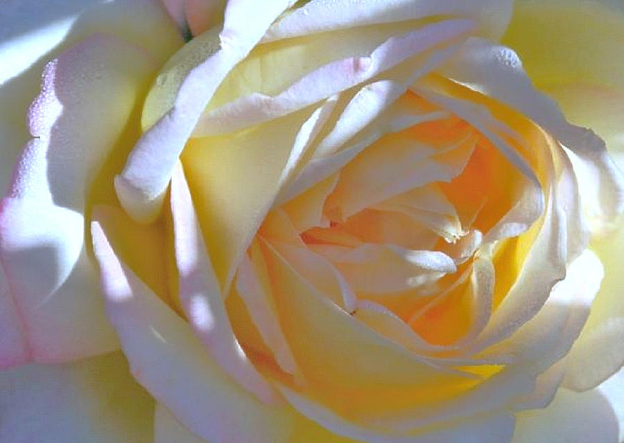 Rose Photograph - Rose by N S