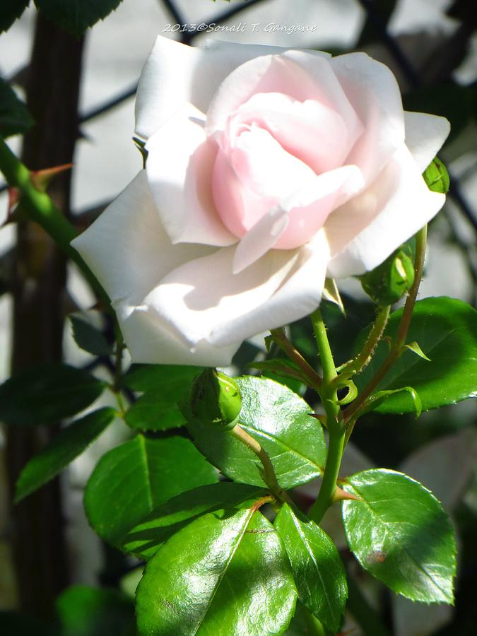 Innocence Photograph - Rose Named Pearl by Sonali Gangane