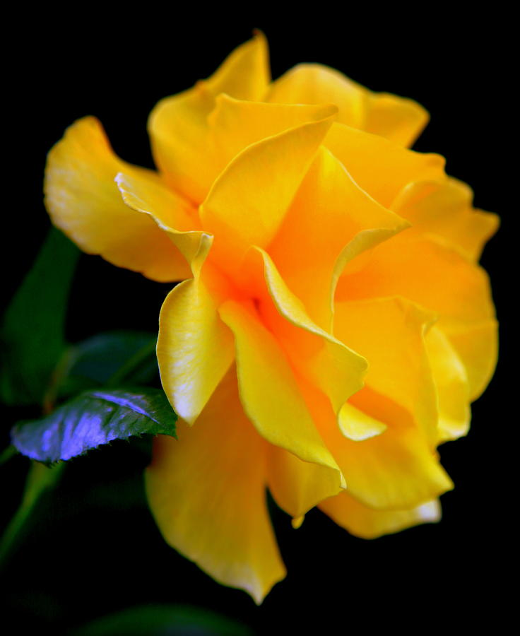 Yellow Roses Photograph - Rose Of Cleopatra by Karen Wiles