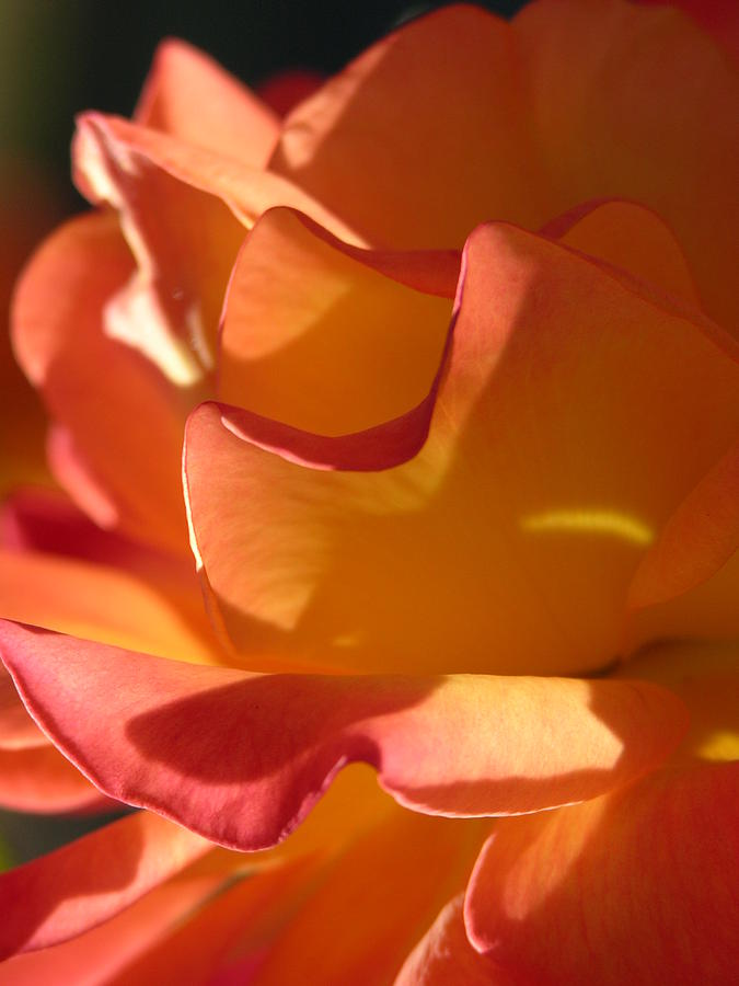 Rose Photograph - Rose Of Light by Lucy Howard