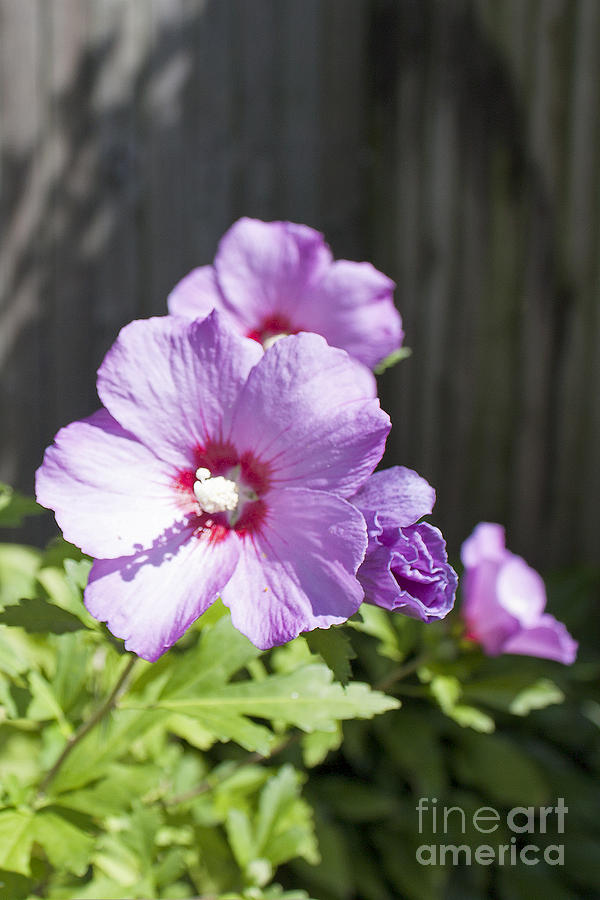 Rose of Sharon - 1 by Tom Doud