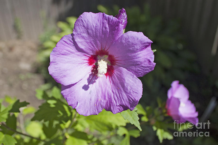 Rose of Sharon - 2 by Tom Doud