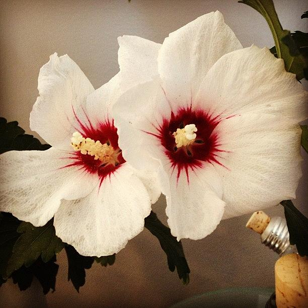 Flower Photograph - Rose of Sharon by Christy Beckwith