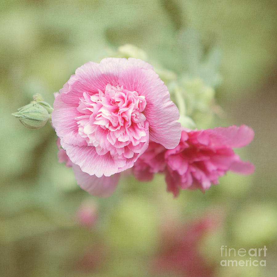 Rose Of Sharon Photograph - Rose Of Sharon by Kay Pickens