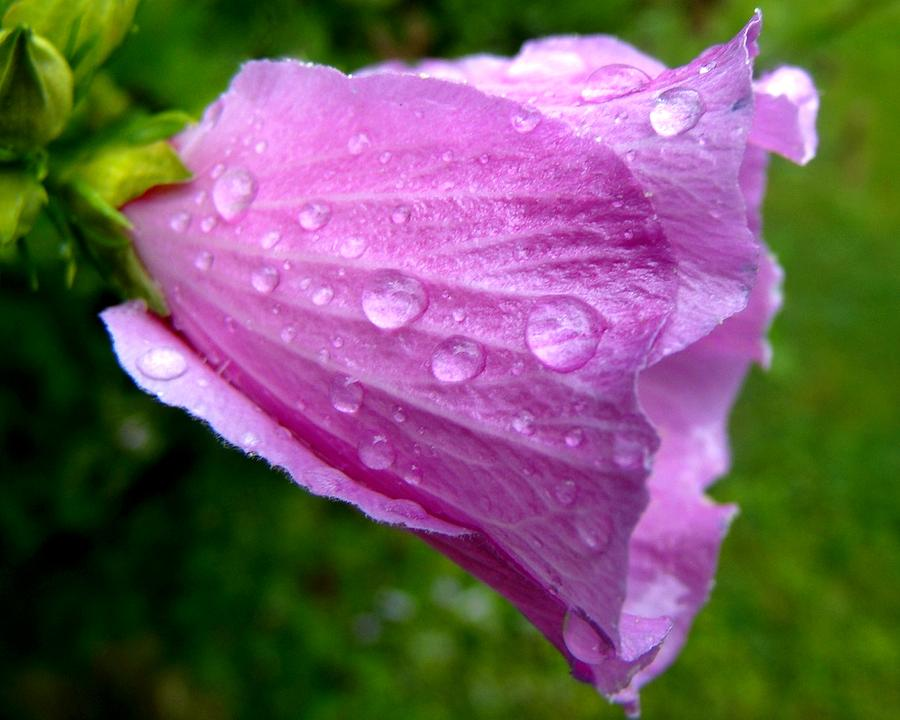 Rose Of Sharon Photograph - Rose Of Sharon With Rain by Mark Malitz