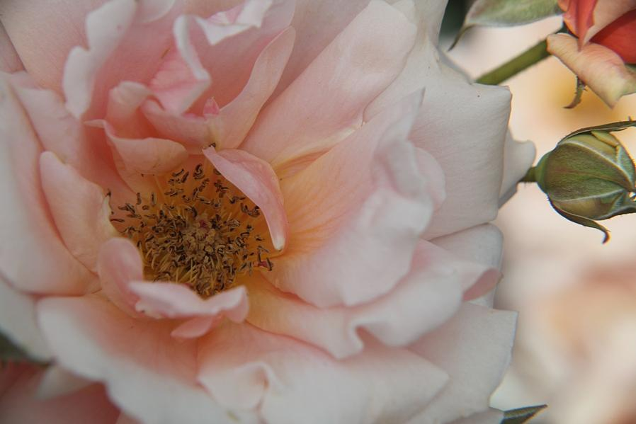 Rose Photograph - Rose - One Of A Kind by Dervent Wiltshire