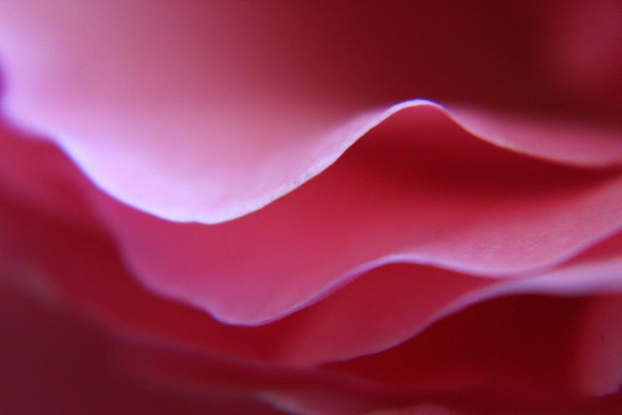 Rose Photograph - Rose Petal Layers by Carol Welsh