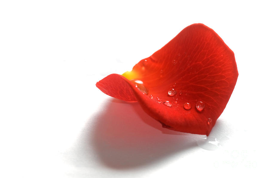 Rose Petal On White Background Photograph By Michal Bednarek