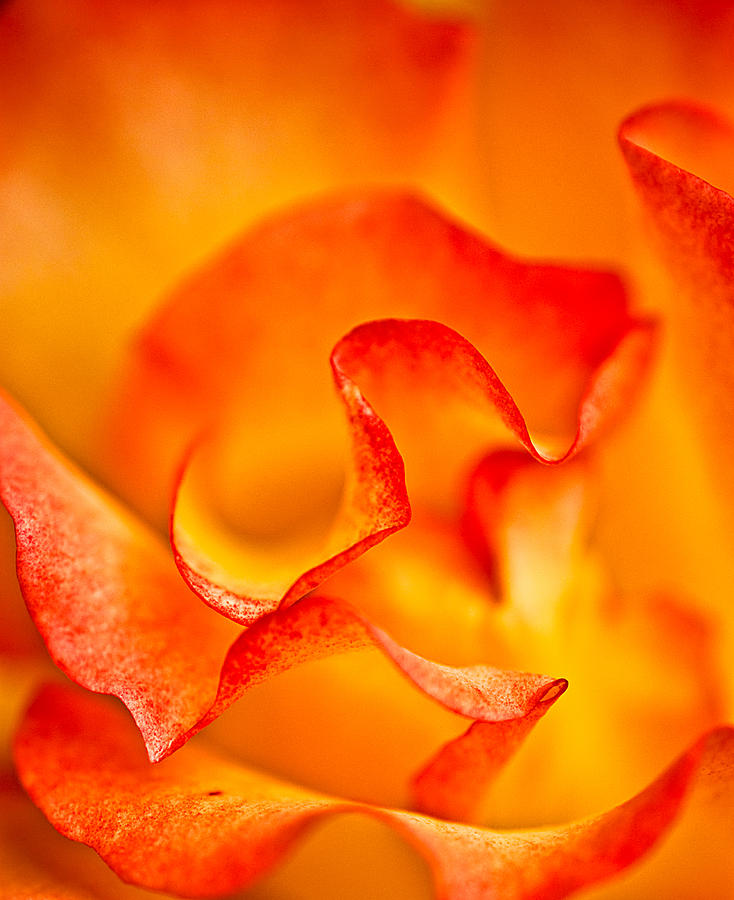 Blend Photograph - Rose Petals Closeup by  Onyonet  Photo Studios