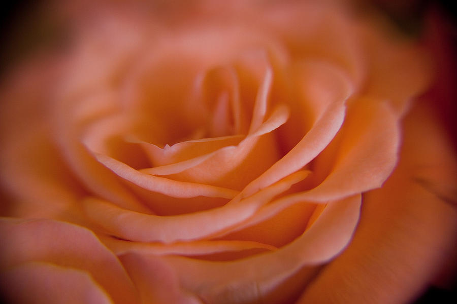 Flower Photograph - Rose Petals by Kim Lagerhem