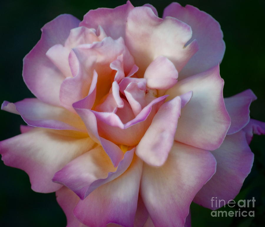Rose Photograph - Rose Petals Straight From My Heart by Gwyn Newcombe