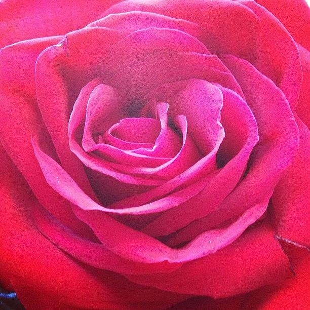 Beautiful Photograph - #rose #redrose #red #flower #redflower by Amber Campanaro