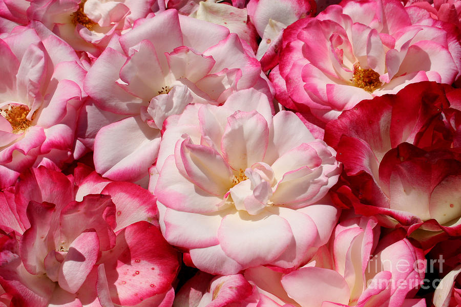 Flowers Photograph - Rose River by Jeanette French