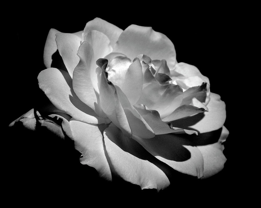 Rose Photograph By Rona Black