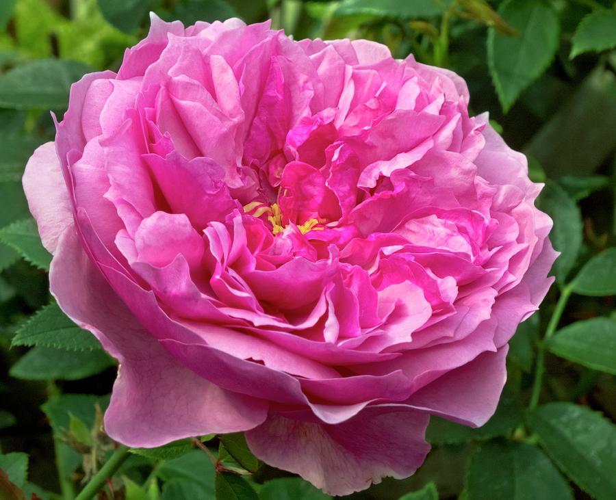 Rosa Photograph - Rose (rosa cessa) Flower by Ian Gowland