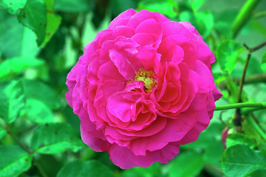 Flower Photograph - Rose (rosa karlsruhe) by Neil Joy/science Photo Library
