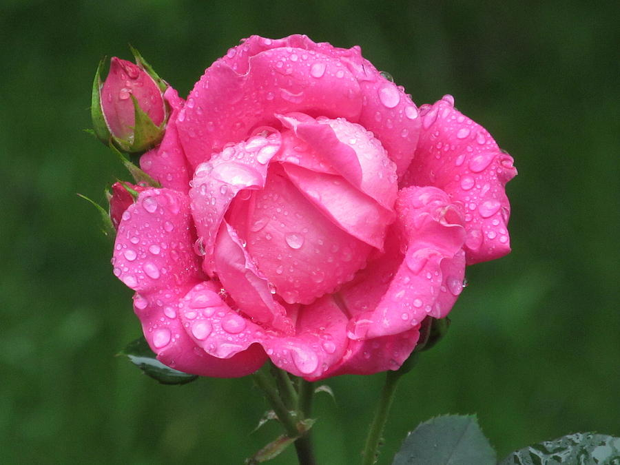 Flower Photograph - Rose Showers by Loretta Pokorny