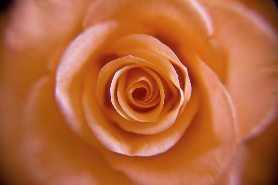 Rose Photograph - Rose Spiral 2 by Kim Lagerhem