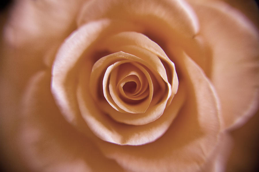 Rose Photograph - Rose Spiral 3 by Kim Lagerhem