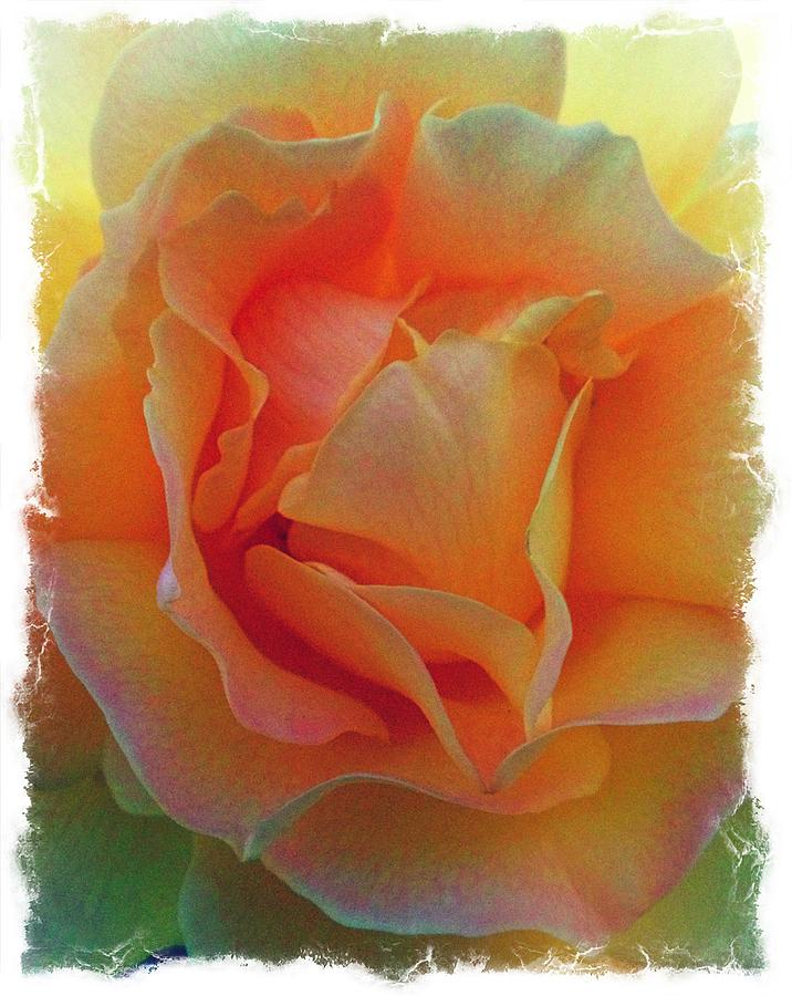 Roses Photograph - Rose Taken At Sunset  by Daniele Smith