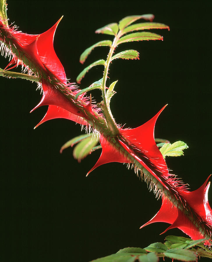Rose Photograph - Rose Thorns by Sheila Terry/science Photo Library