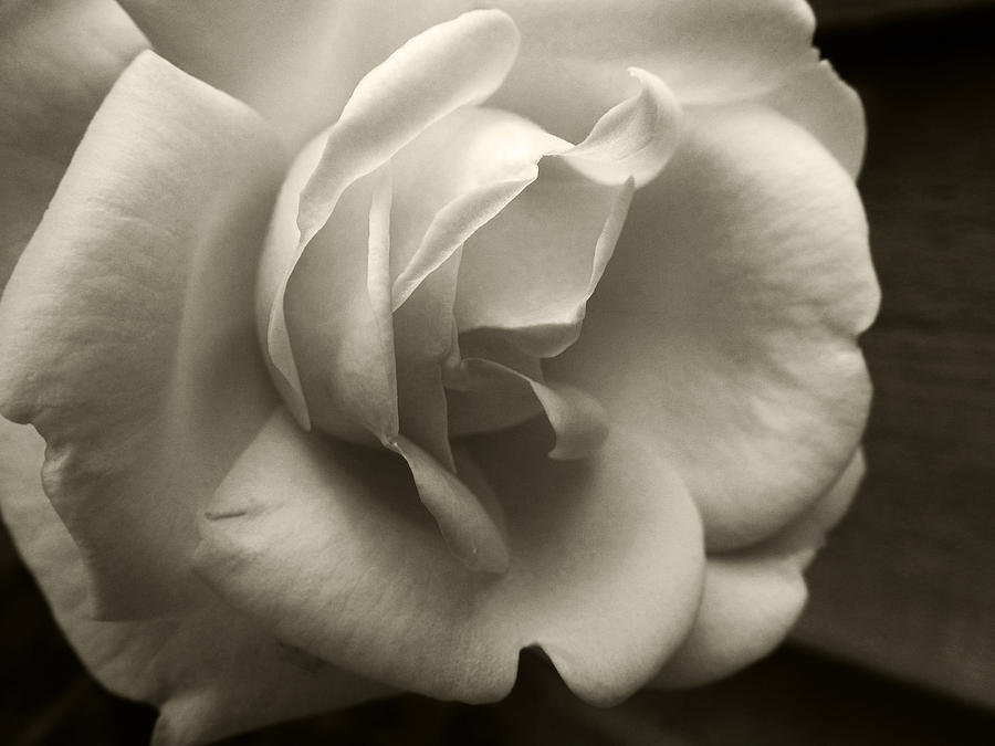 Rose Photograph - Rose White by Tanya Jacobson-Smith