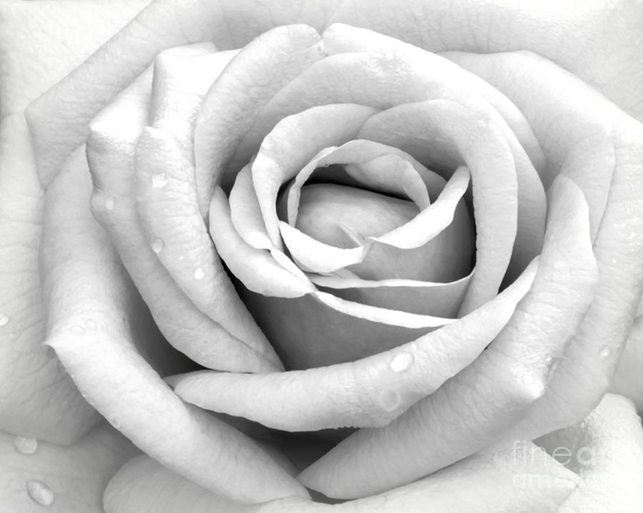 Macro Photograph - Rose With Tears by Sabrina L Ryan