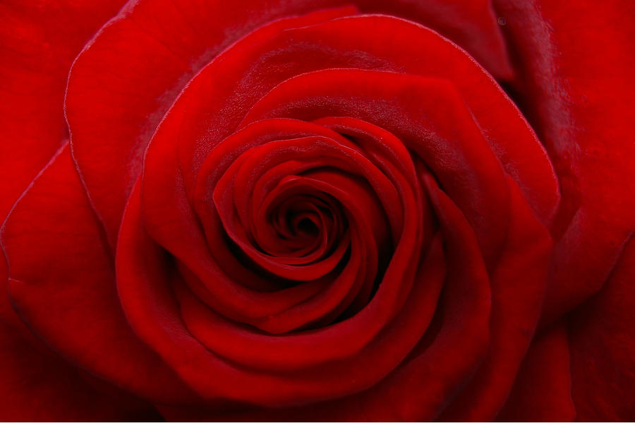 Rose Photograph - Rose1 by Kennith Mccoy