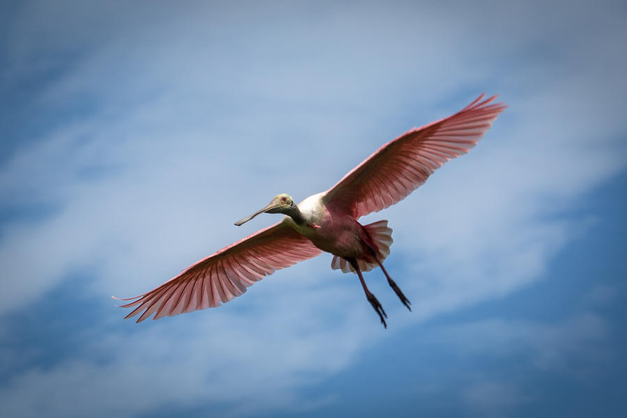 Roseate Spoonbill Photograph - Roseate Spoonbill In Flight by Gregory Daley  PPSA